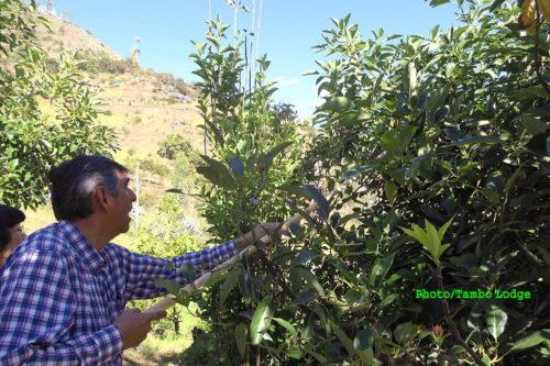 自然農法のアボカド狩り