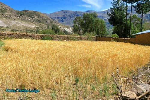 グルテンフリーの嘘、本当(4)現代の小麦(1)