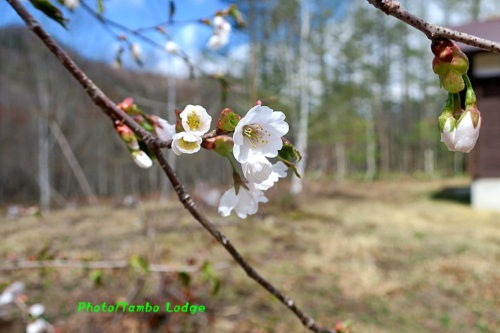 山桜がやっと開花しました