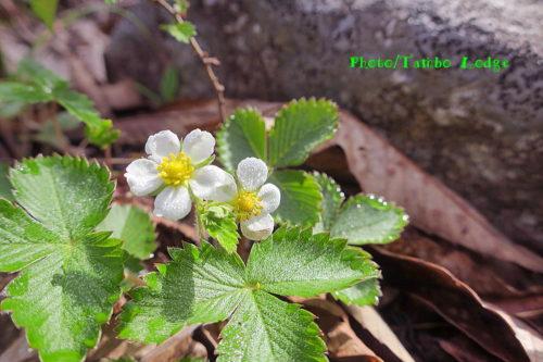 ワイルドストロベリーの花が咲いた