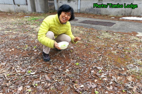 蕗の薹の季節