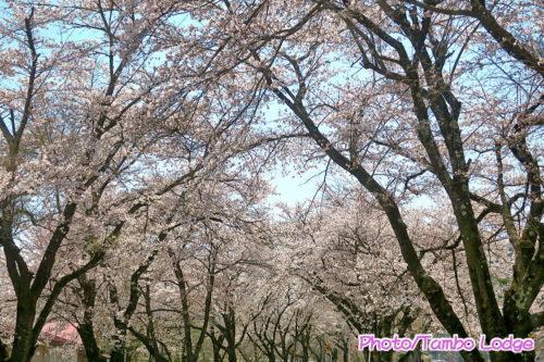 桜満開のお散歩