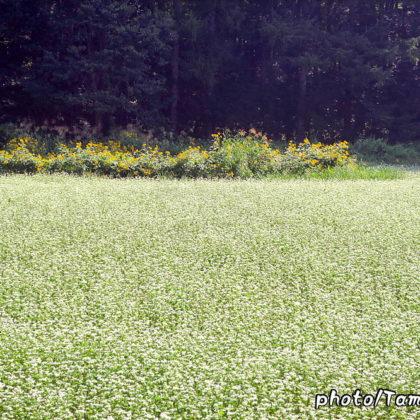蕎麦の花満開