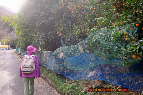 みかん山でオーガニックのミカン狩り