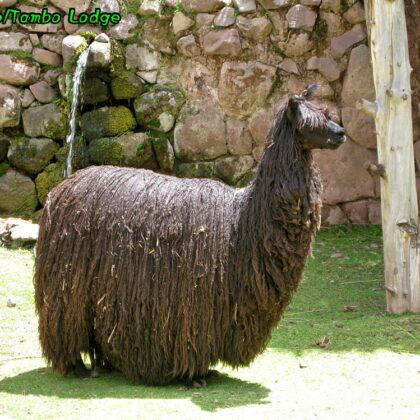 Cuscoで合流&アルパカ牧場