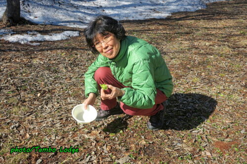今年も蕗の薹の季節到来です