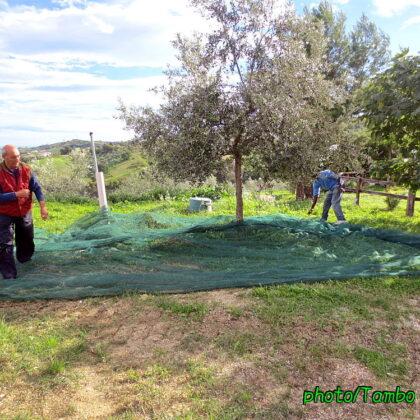 オリーブ農園体験