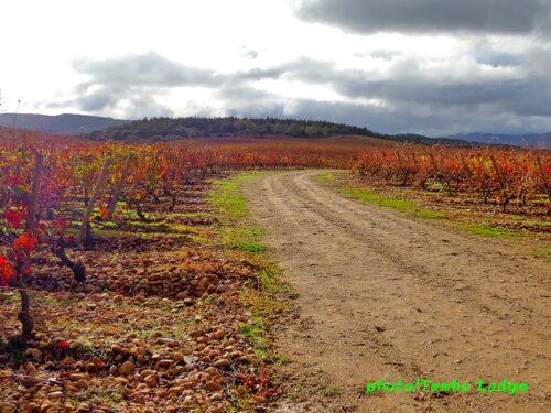 巡礼9日目(Navarrete ⇒ Azofra)22.6㎞ 一面のブドウ畑の中を行く