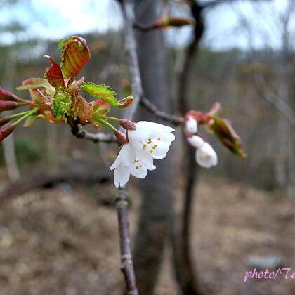 山桜の花が咲き始めました