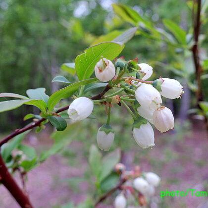 ブルーベリーの花が咲いた