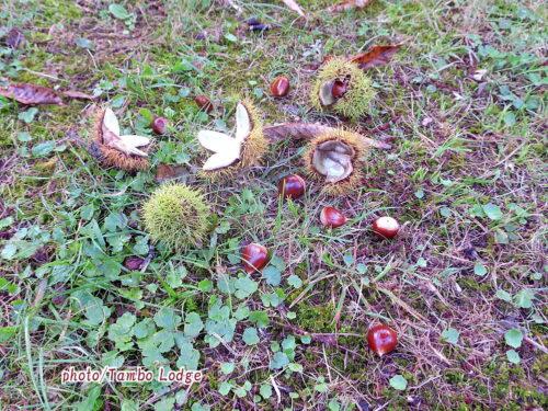山栗の実が落ち始めました