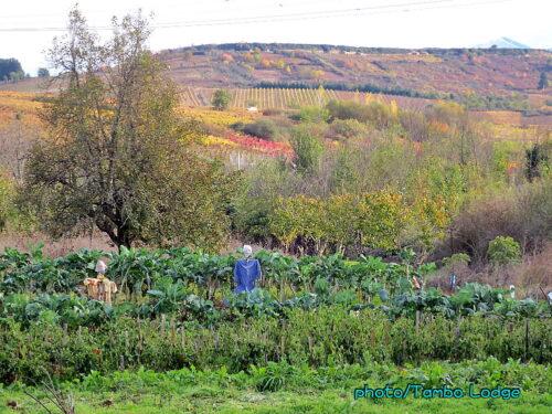 葡萄畑の続く巡礼路