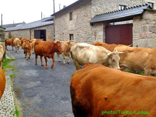 うわっ!!、牛に取り囲まれる!!